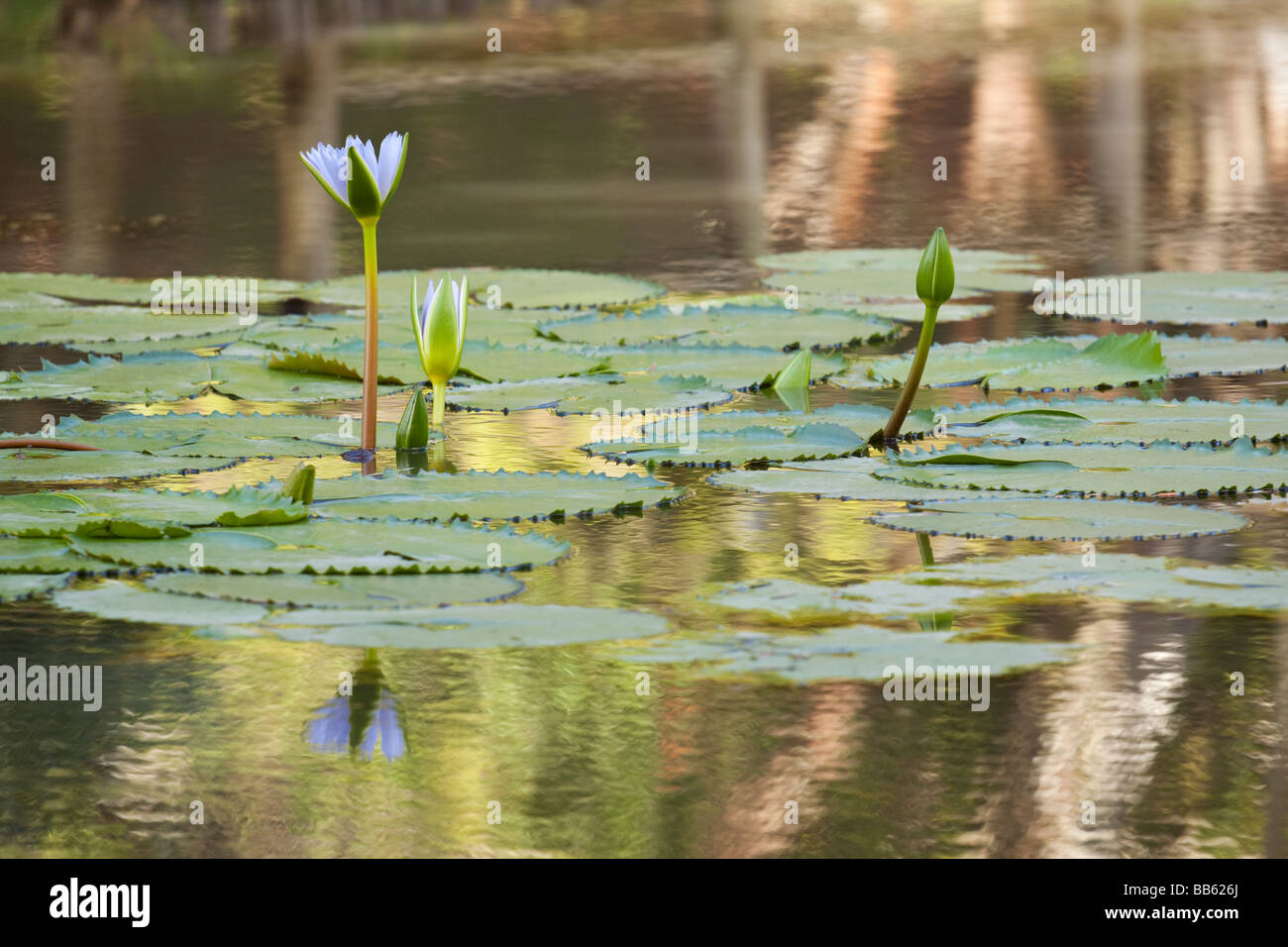 Opening waterlilies with shimmering reflections - Stock Image