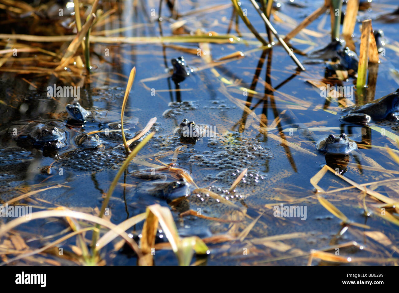Frogs and frogspawn in the shallow water - Stock Image