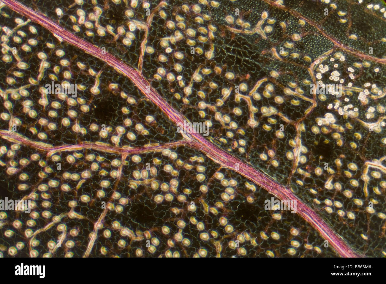 St Johns Wort leaf vein detail photomicrograph - Stock Image