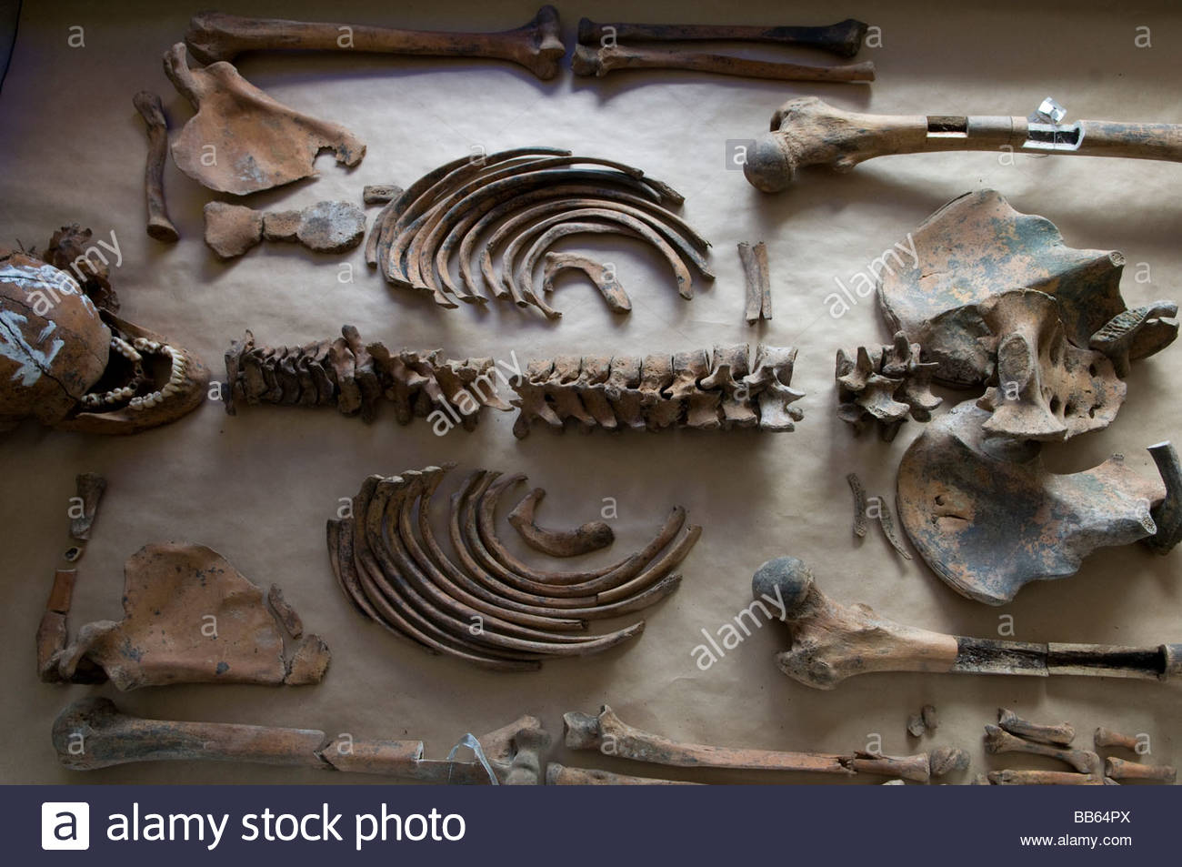 Remains of human skull and bones at the mortuary facility of ICMP commission of missing persons in town of Tuzla, - Stock Image