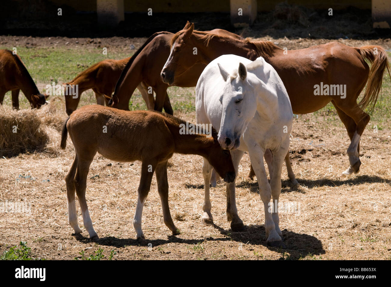 lusitano horse foal feeding area in the 'Coudelaria de Alter do Chão', south of Portugal - Stock Image