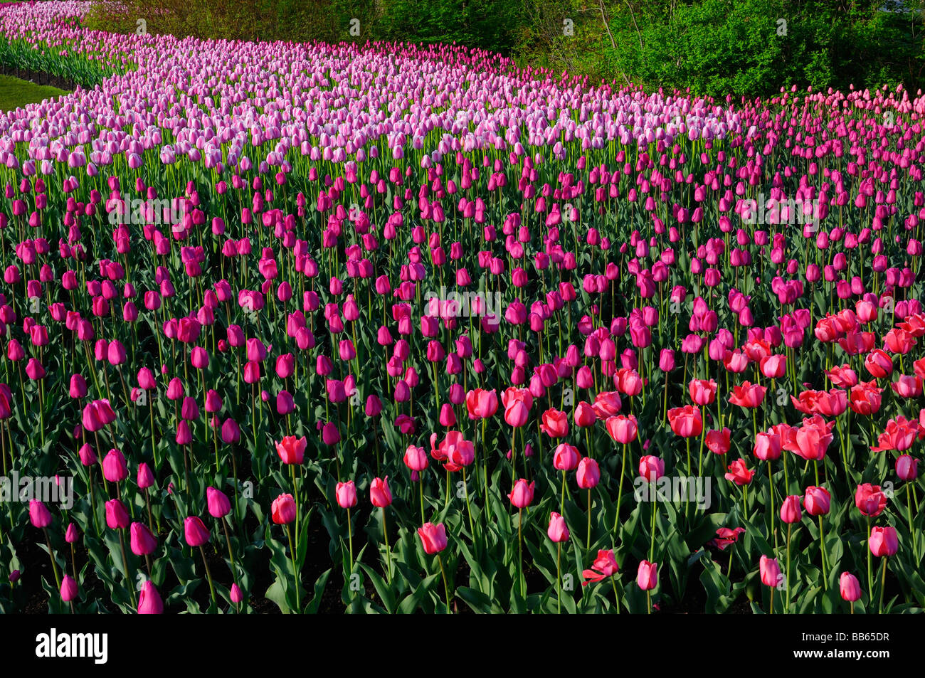 Sweeping mass of Red Impression Barcelona and Ollioules Tulips at the Ottawa Tulip Festival garden - Stock Image