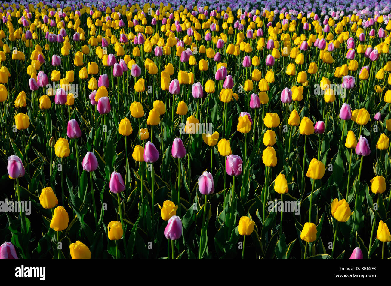 Gardne bed of sidelit yellow Garant and purple white Ollioules Dutch Tulips at Ottawa Tulip Festival in Spring Stock Photo