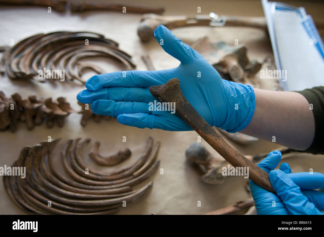 Forensic archaeologist examining a human bone at the mortuary facility of ICMP commission of missing persons inTuzla, - Stock Image