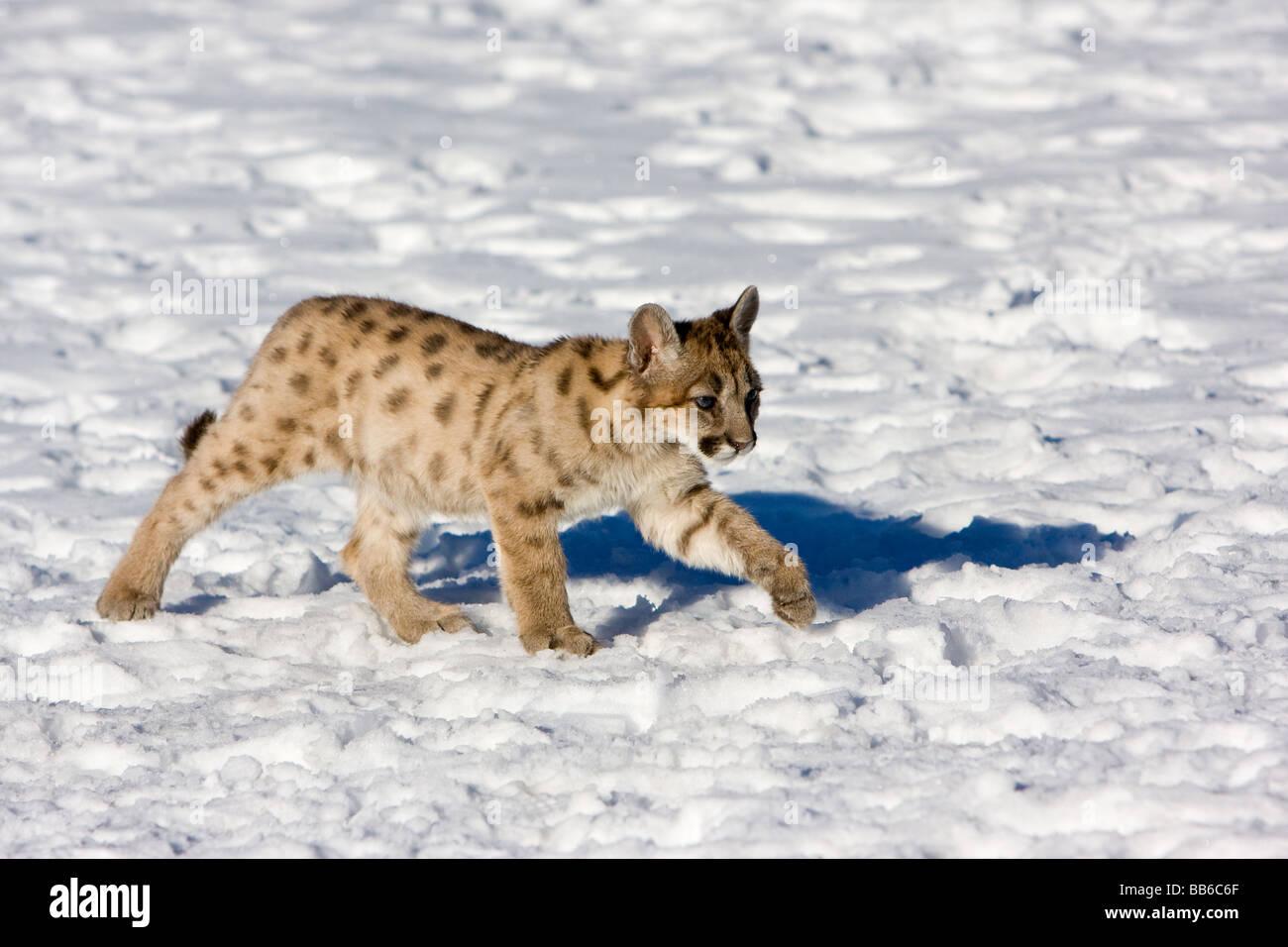 383175c30b9e Young mountain lion