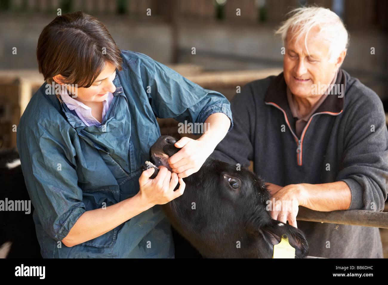 Farmer With Vet Examining Calf - Stock Image