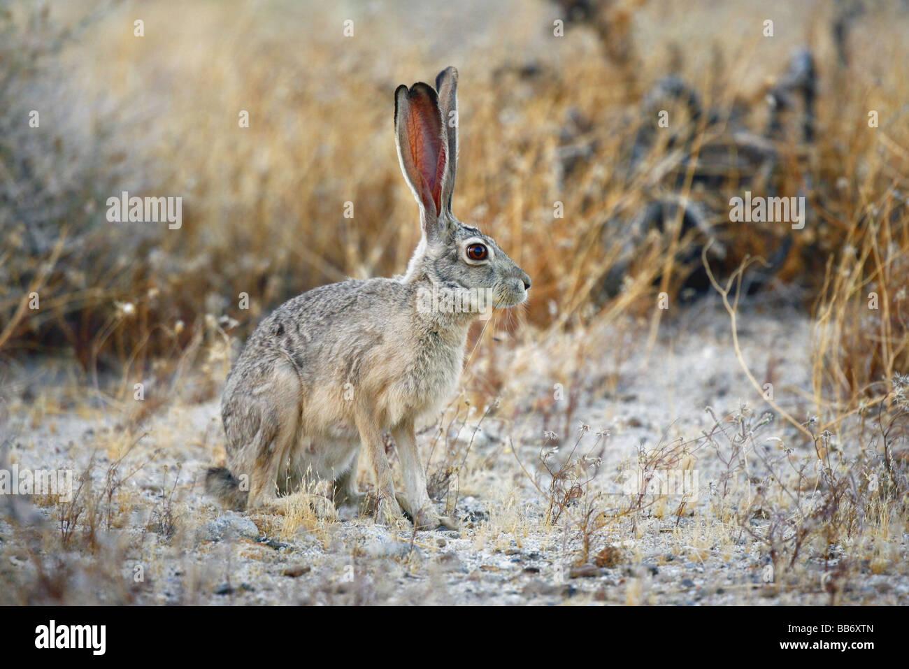 Black-tailed Jackrabbit freezes motionless to avoid detection in desert grassland - Stock Image