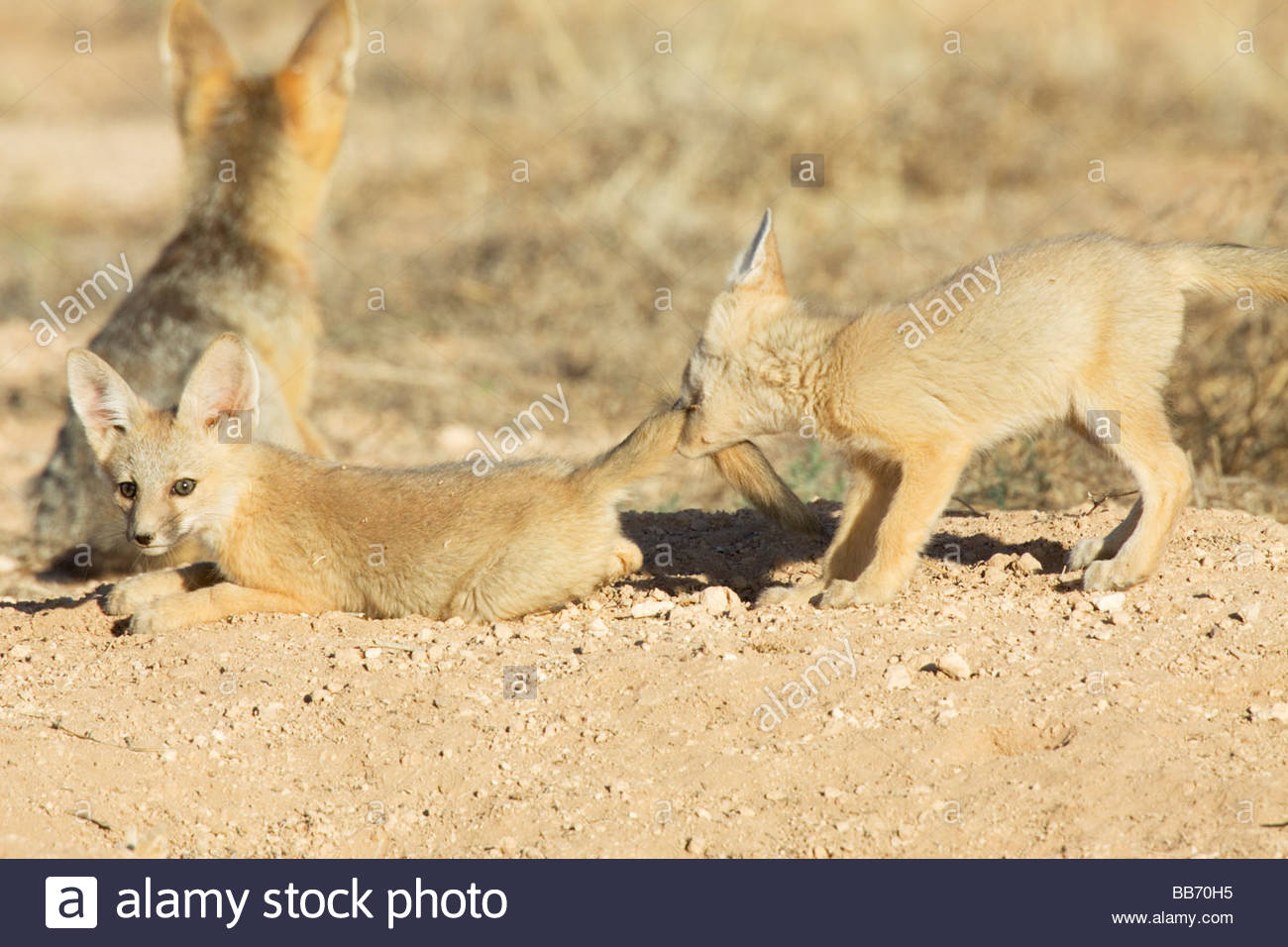 kit-foxes-vulpes-macrotis-pups-playing-biting-tail-BB70H5.jpg