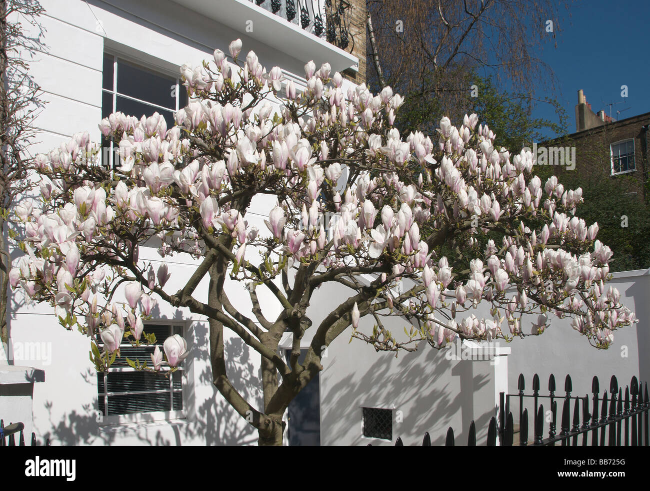 Magnolia tree in blossom in front of terraced victorian house camden magnolia tree in blossom in front of terraced victorian house camden town london nw1 england uk mightylinksfo Images