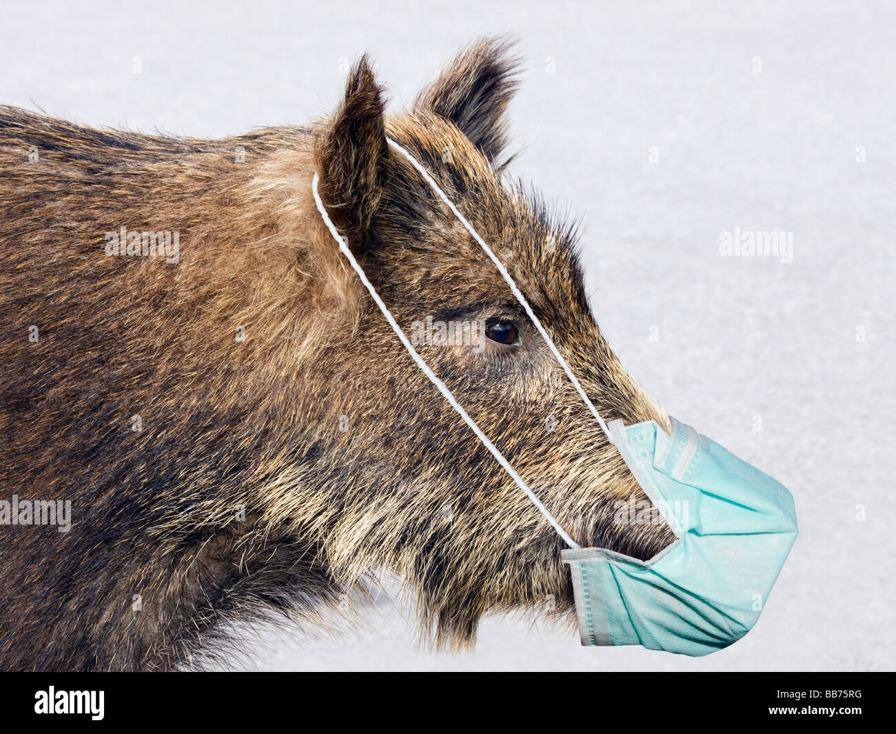A wild boar with mouth protection against the swine flu. This image is an illustrative concept to the swine flu. - Stock Image