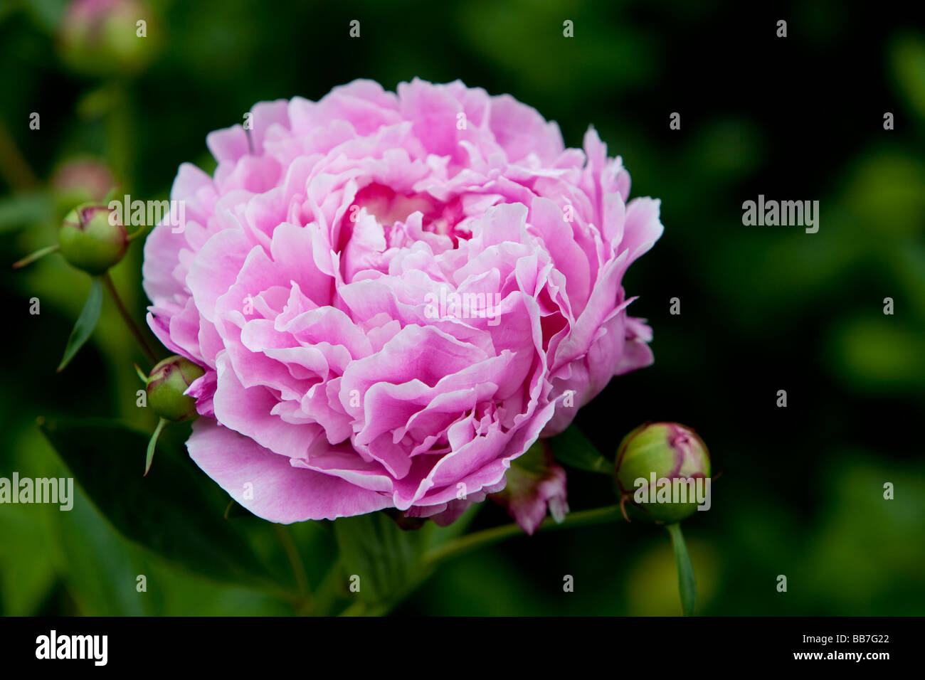 Pink Peony Flower - genus Paeonia, the only genus in the family Paeoniaceae Stock Photo