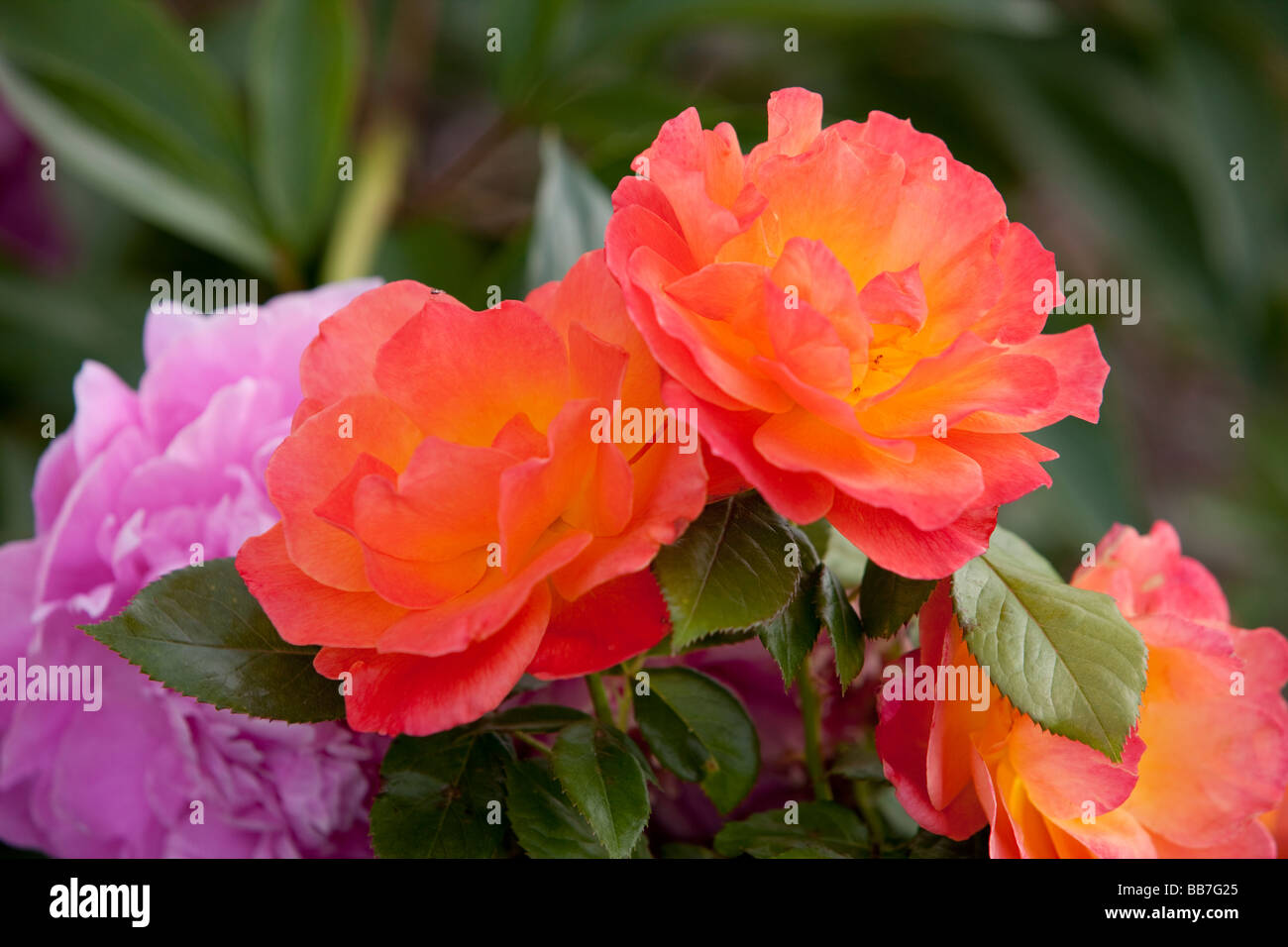 Peony and rose flower - Stock Image