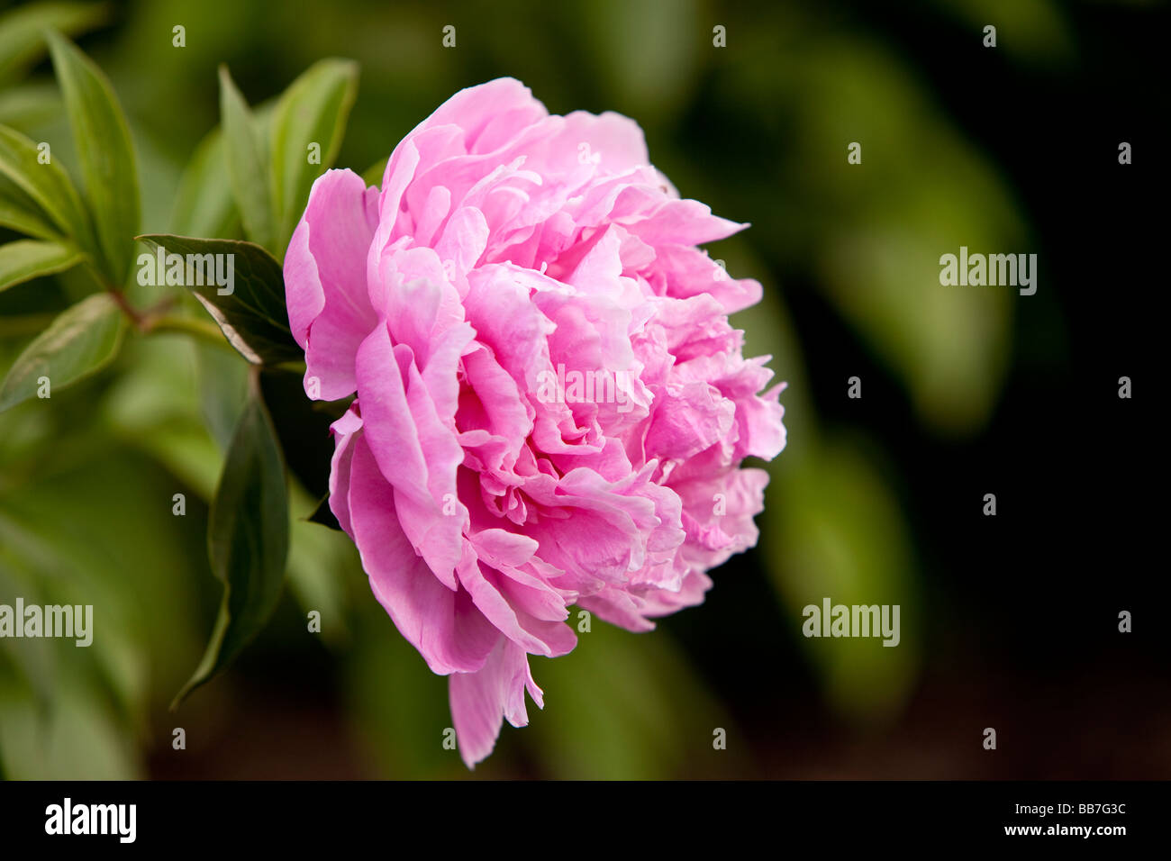 A pink peony - a flowering plant in the genus Paeonia - the only genus in the family Paeoniaceae. - Stock Image