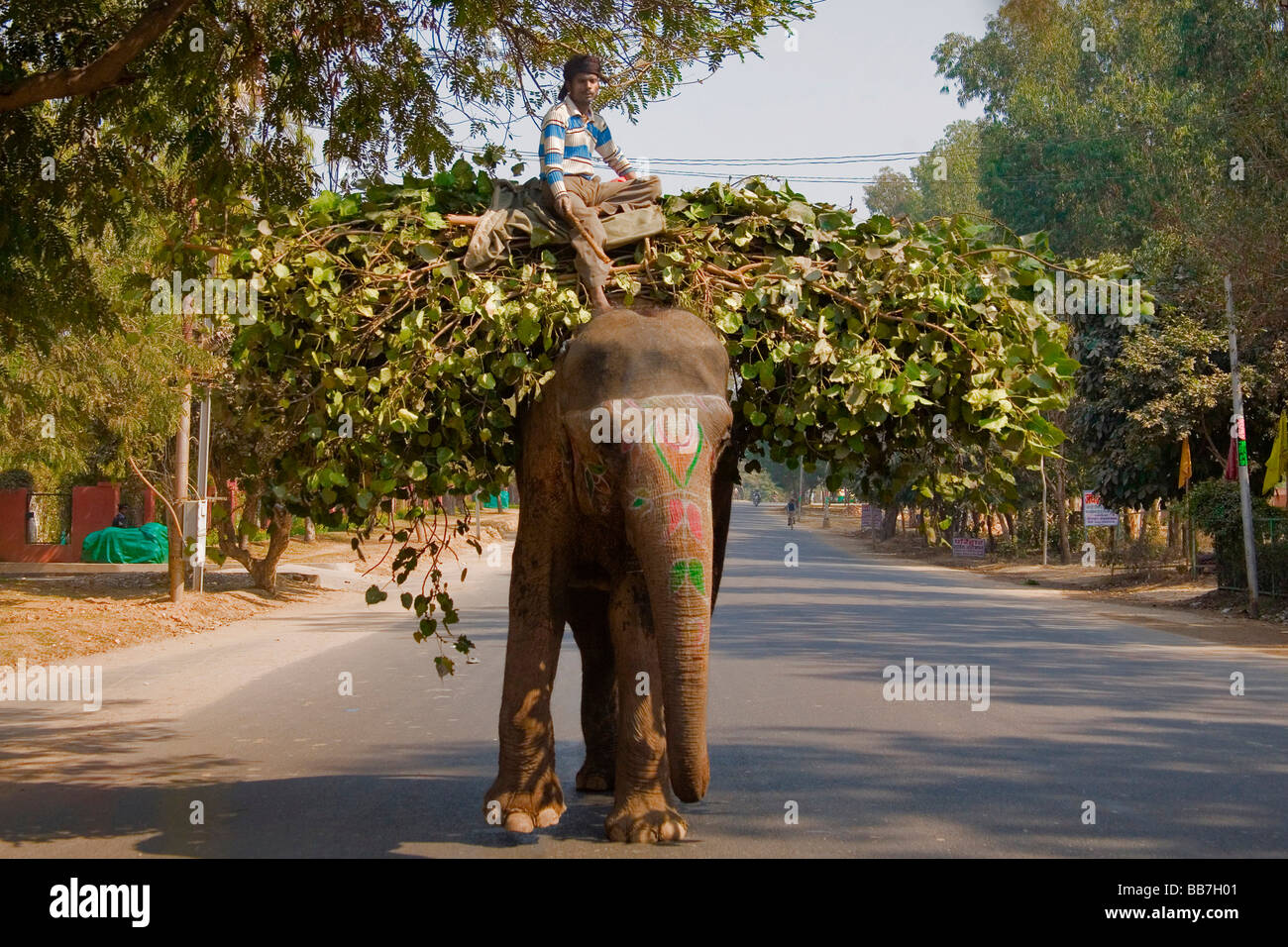 Indian elephant transporting food for animals, North India, India, Asia - Stock Image