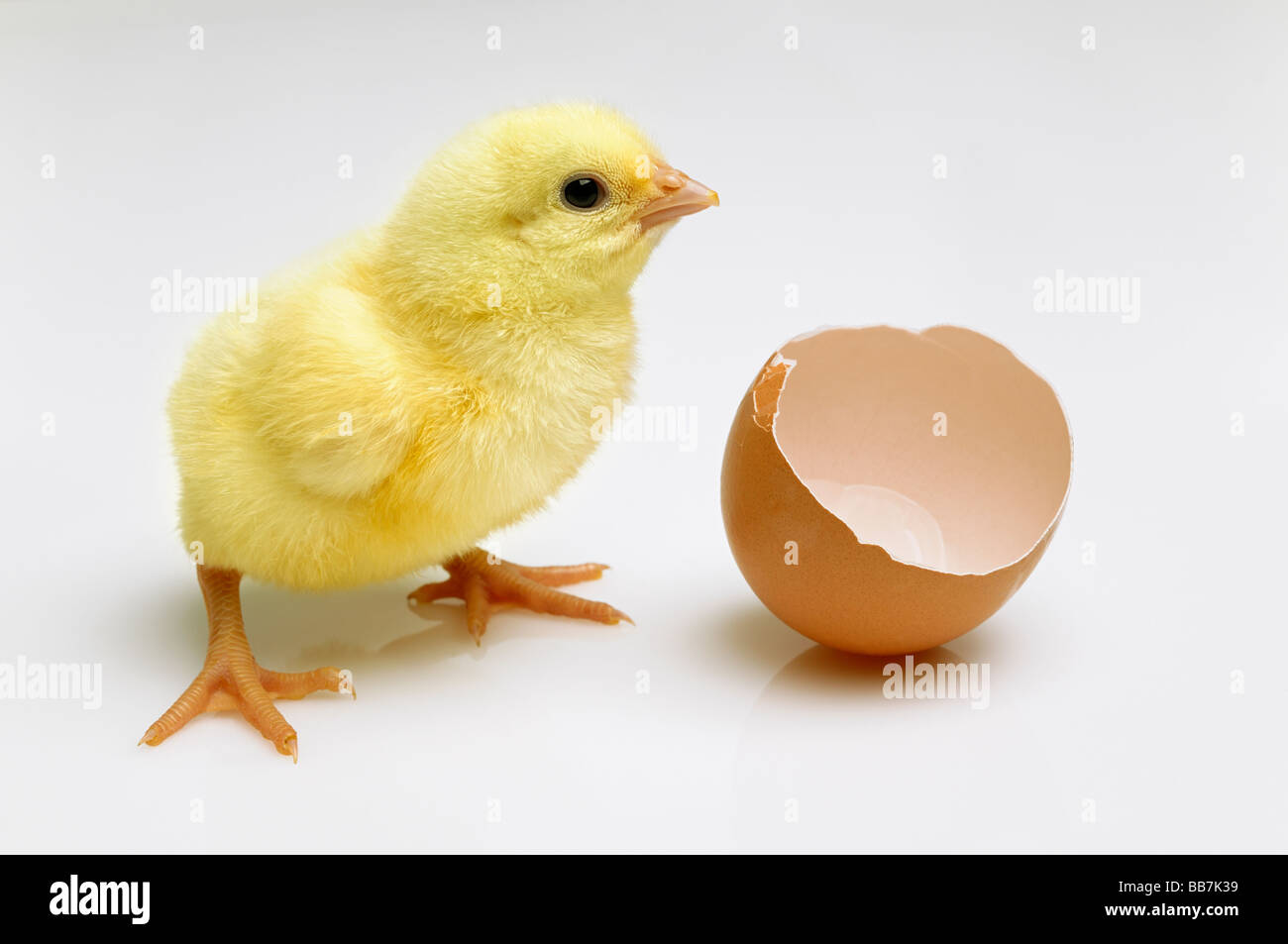 Newly Hatched Chick Next to a Broken Eggshell - Stock Image