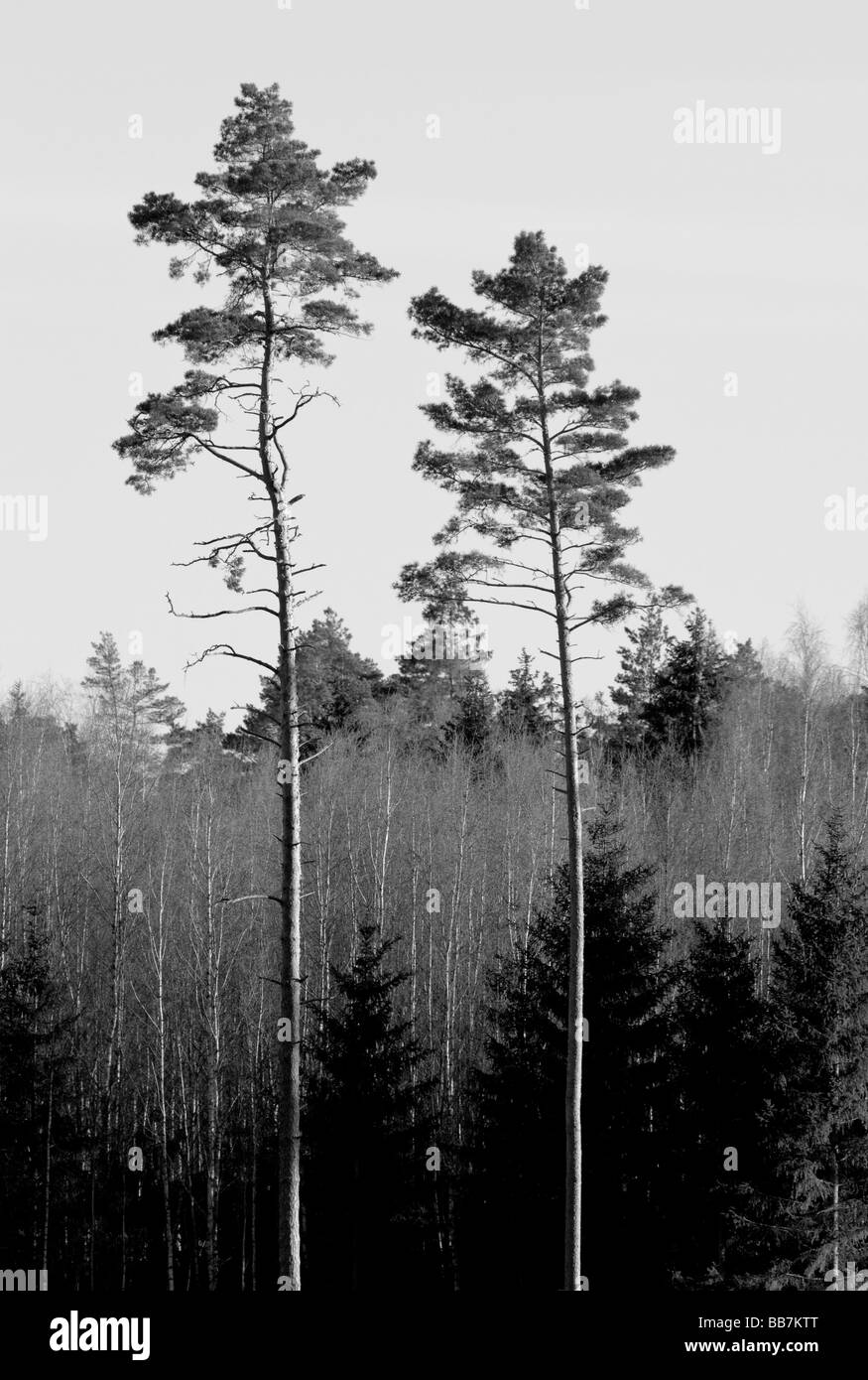 two pine in the forest - Stock Image