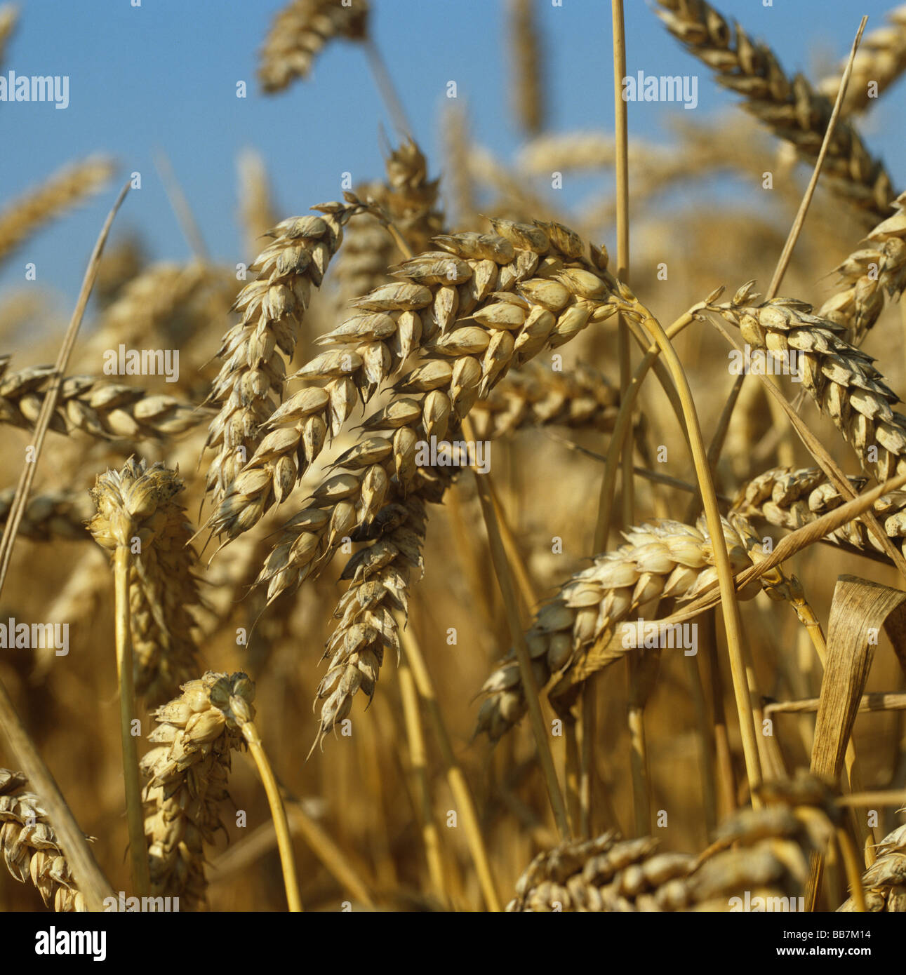 Ripe ears of winter wheat against a clear blue sky on a bright summer day - Stock Image