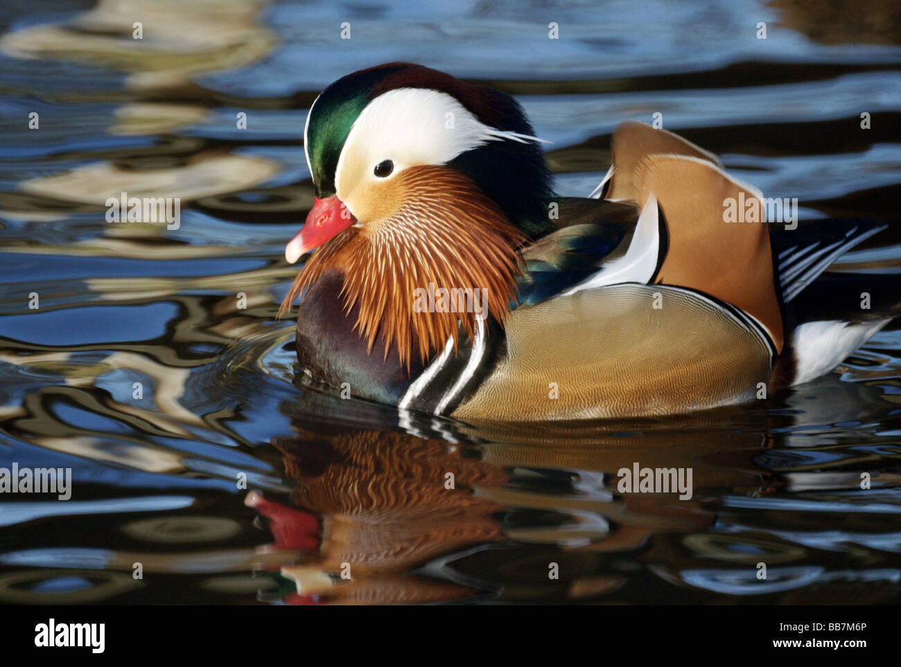 Wildfowl;Ducks;Mandarin Duck ;'Aix galericulata';Male,in full colour, on water displaying to female [not - Stock Image