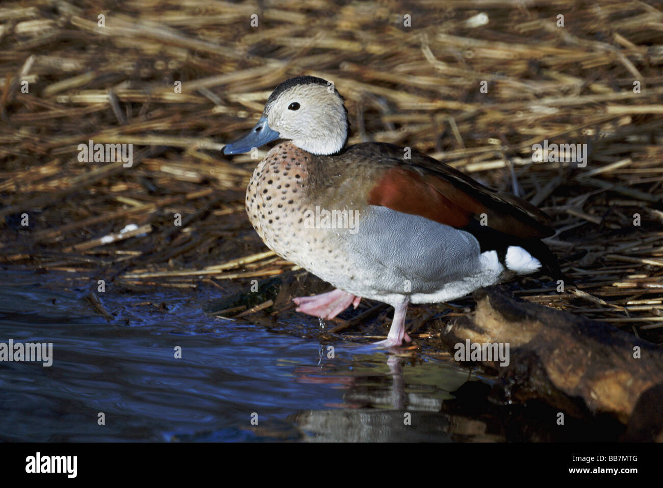 Wildfowl;Ducks;Ringed Teal ;'Calonetta leucophrys';Male standing on the edge of a pond. - Stock Image