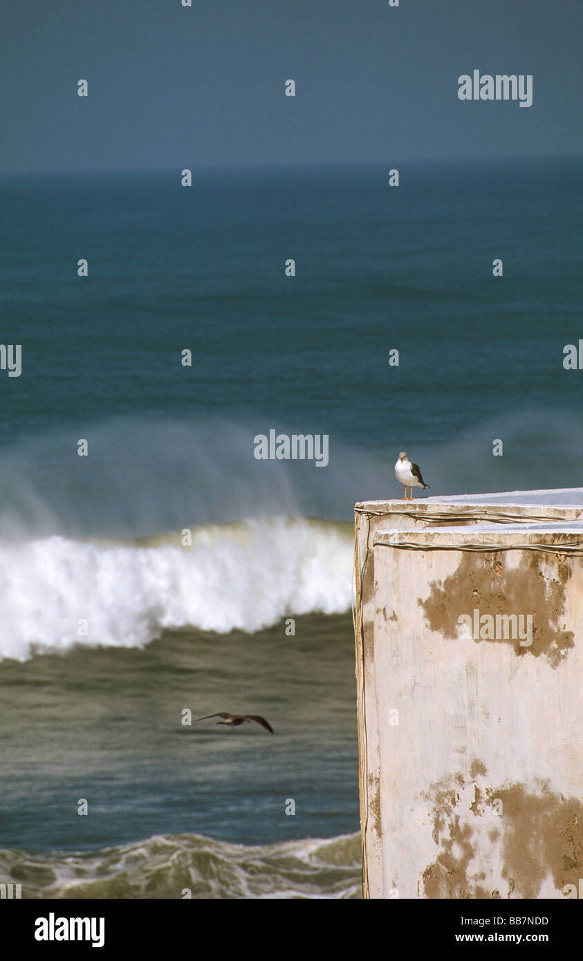 Sea gull on riad roof terrace with ocean view and breakers with spume, medina of Essaouira, Morocco - Stock Image