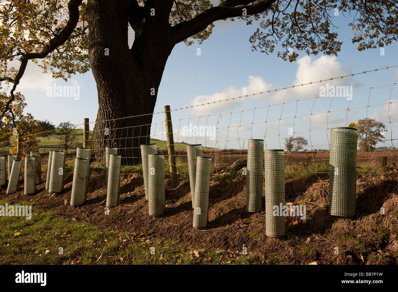 Newly planted hedge with young trees protected with plastic guards Cumbria  - Stock Image