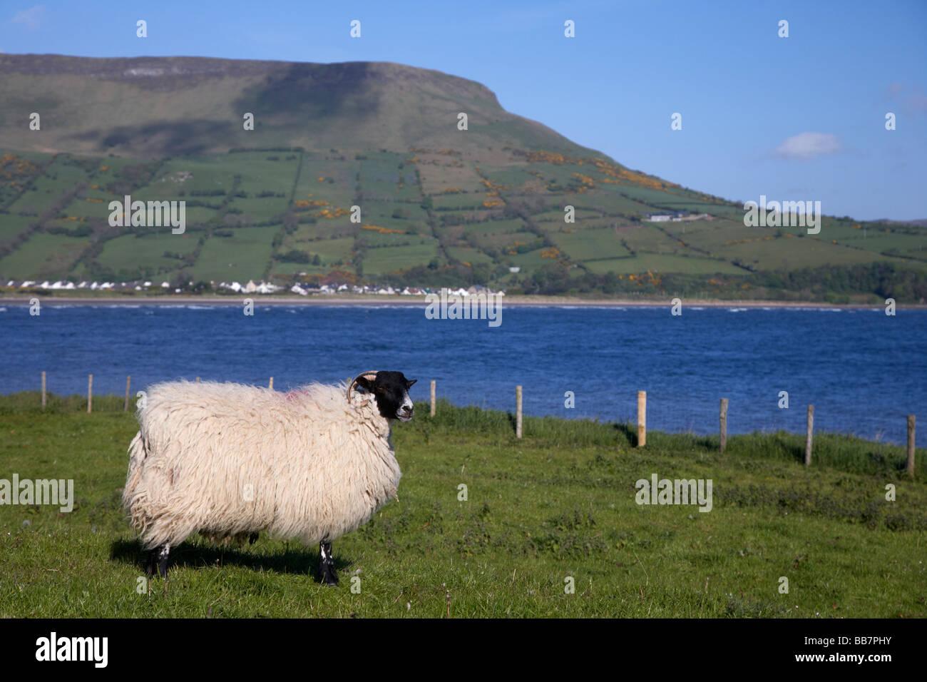 single blackfaced sheep in farmland on the coast beneath lurigethan mountain glenariff county antrim northern ireland - Stock Image