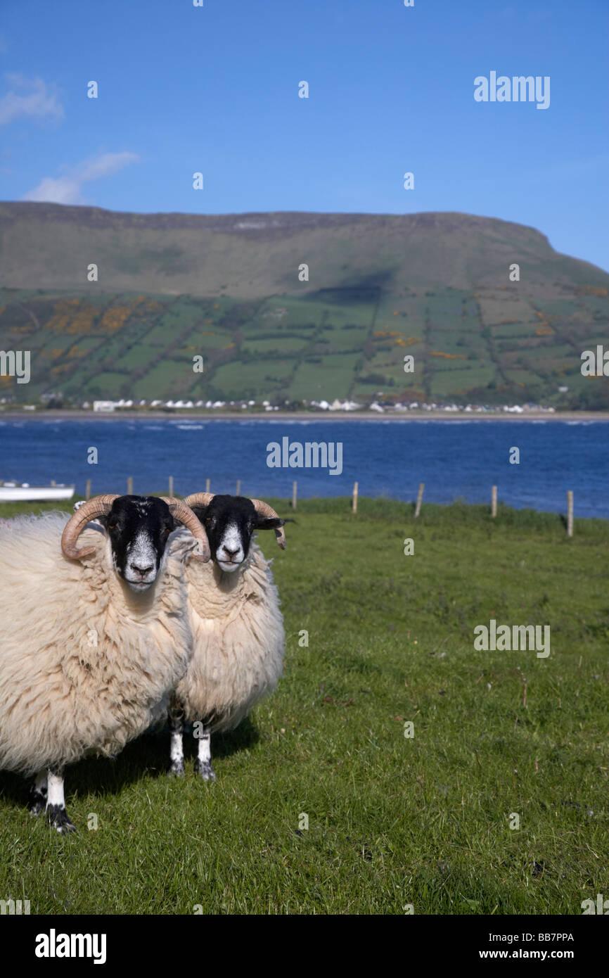 two blackfaced sheep in farmland on the coast beneath lurigethan mountain glenariff county antrim northern ireland - Stock Image