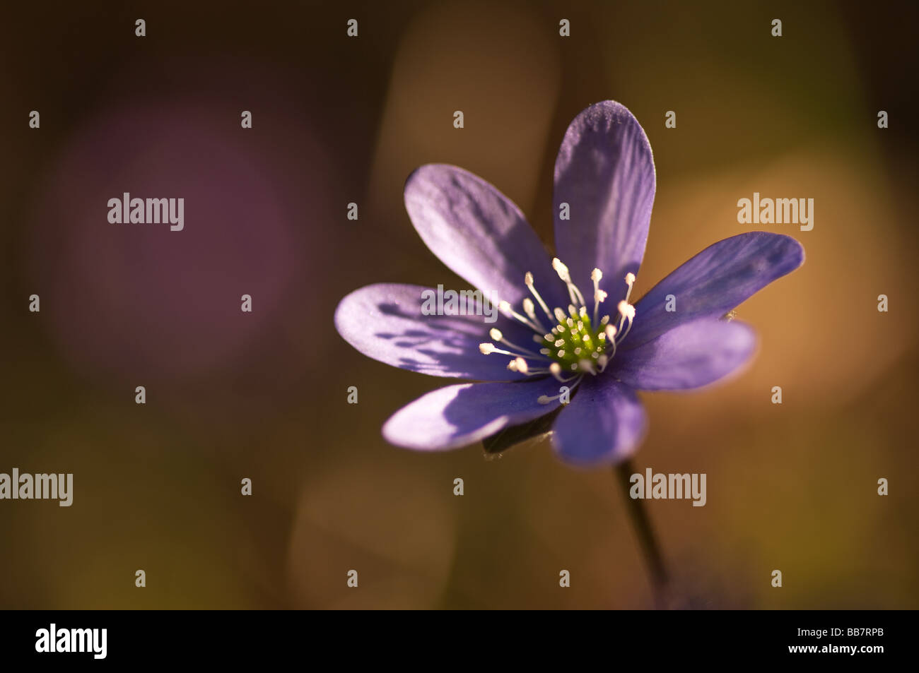 Blossom of Hepatica nobilis in the early spring Stock Photo