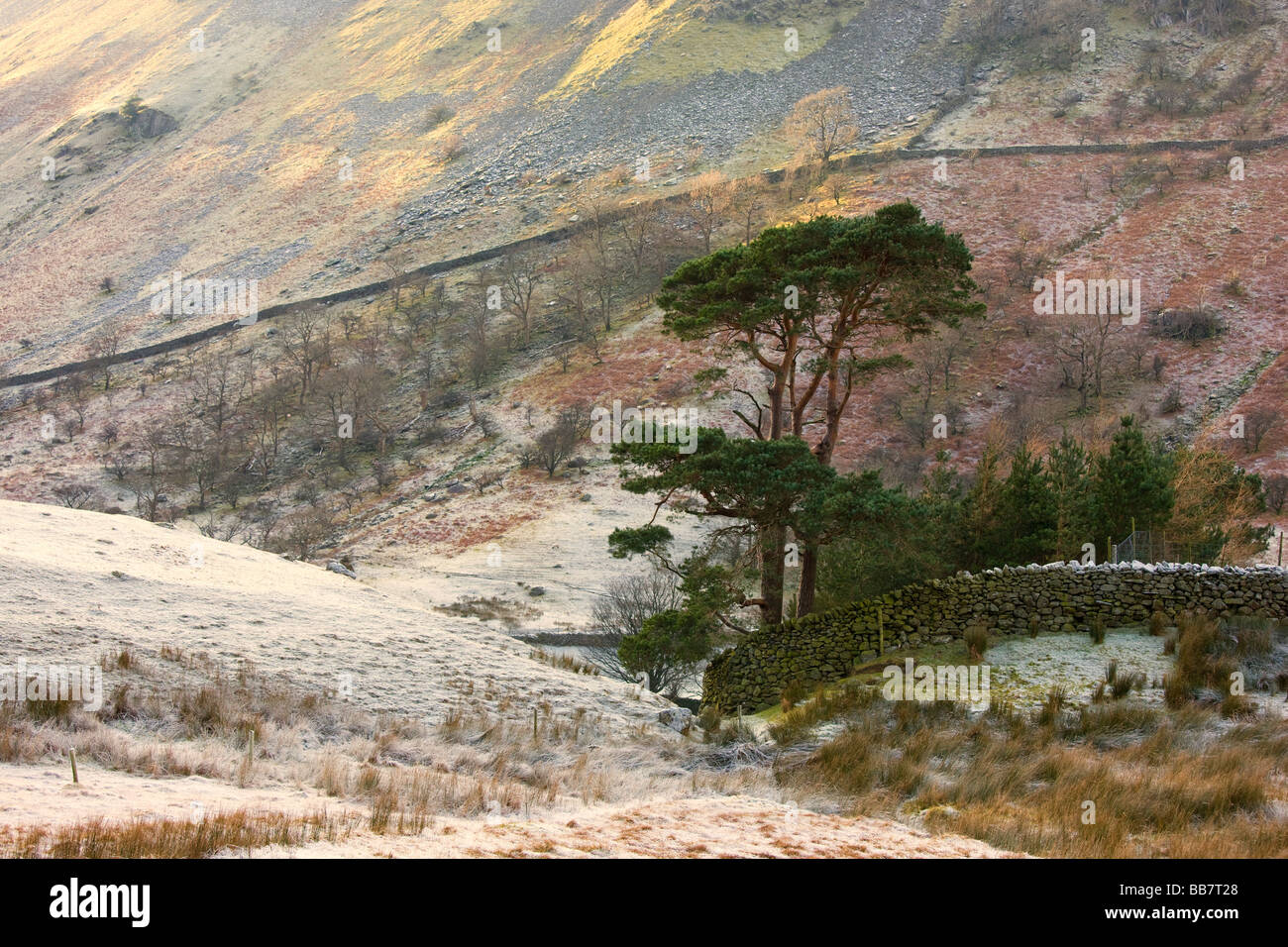 Two coniferous tree and stone wall on hillside; Cumbria, England, UK - Stock Image