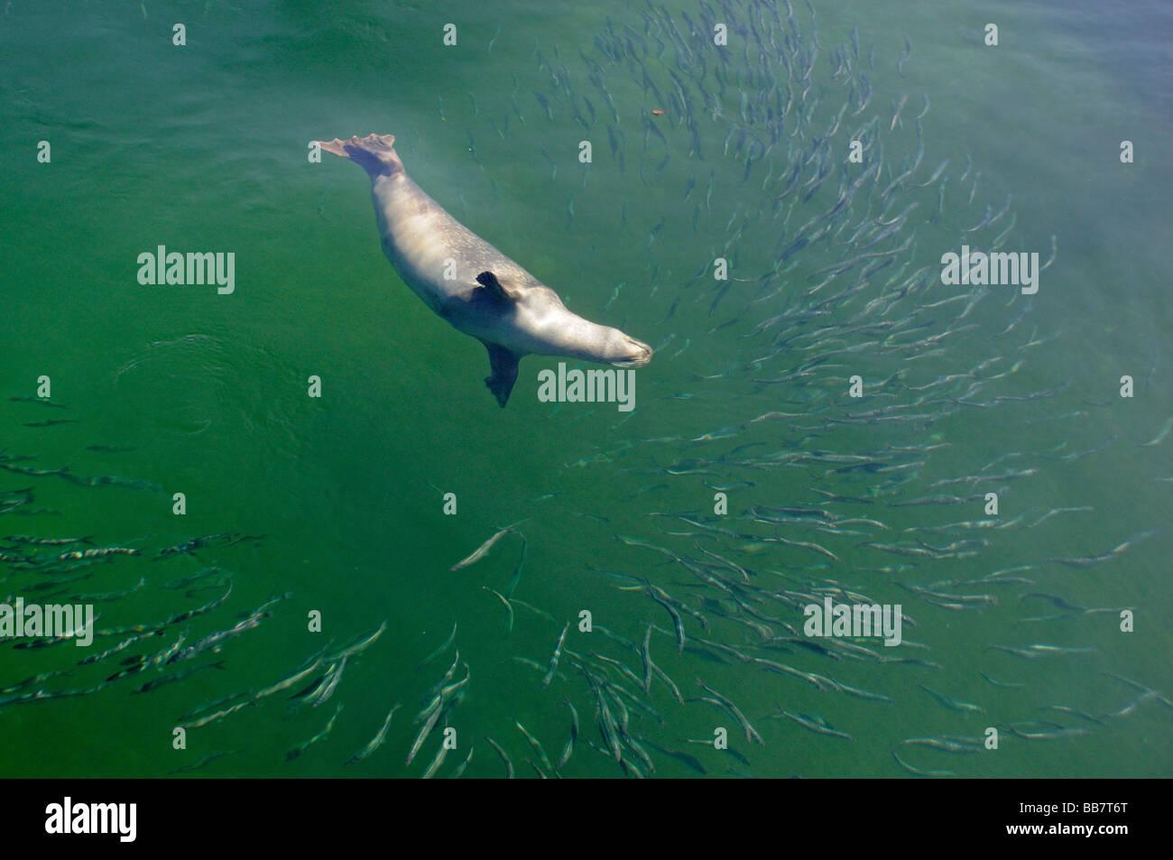 Phoca vitulina vitulina, Common Seal, hunting Herring Stock Photo