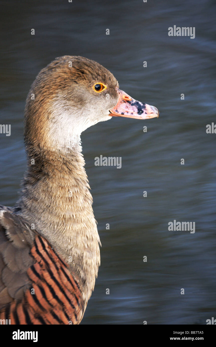 Wildfowl;Ducks;Plumed Whistling Duck; 'Dendrocygna eytoni';Head,neck and shoulders only. Stock Photo