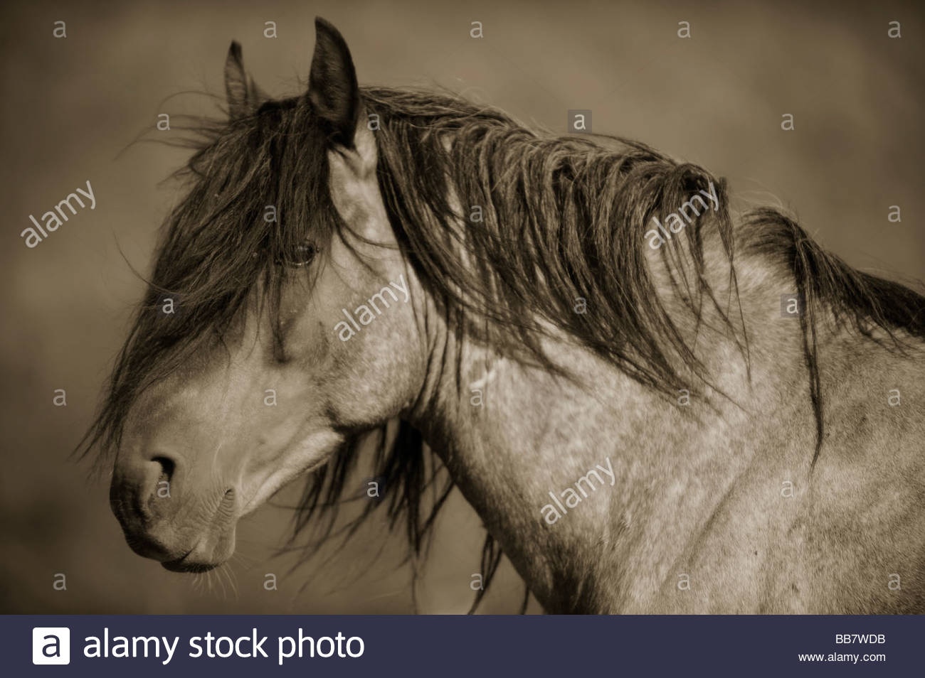 Wild Mustang Stallion with Windblown Mane - Stock Image