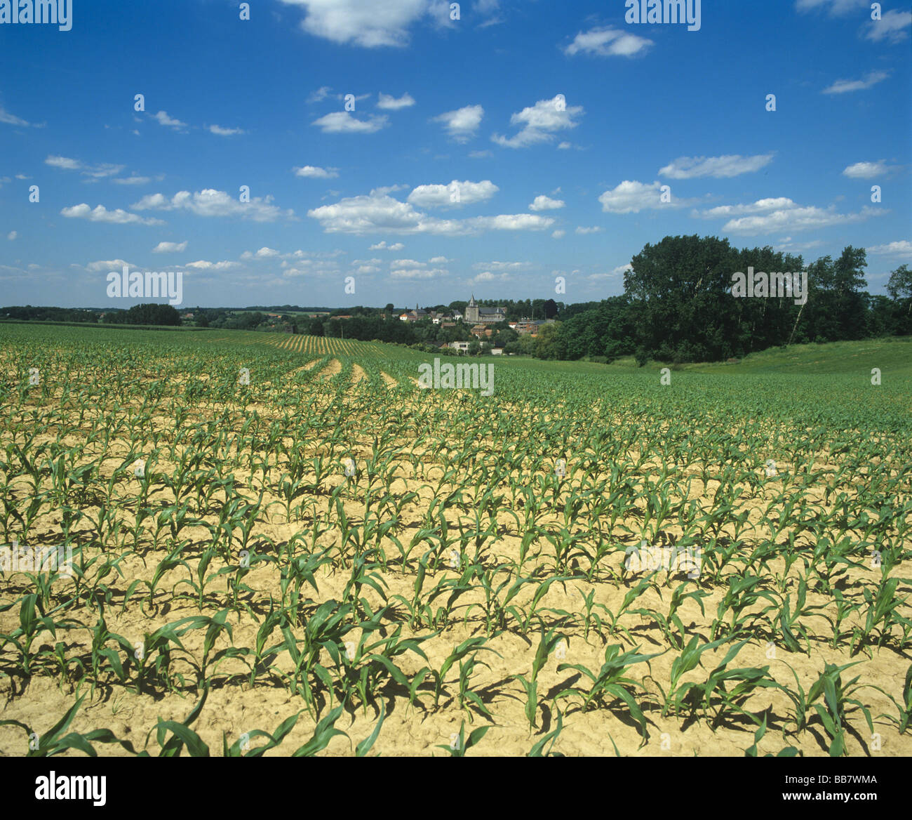Young maize crop on fine summer day with Nodebais village behind Belgium - Stock Image