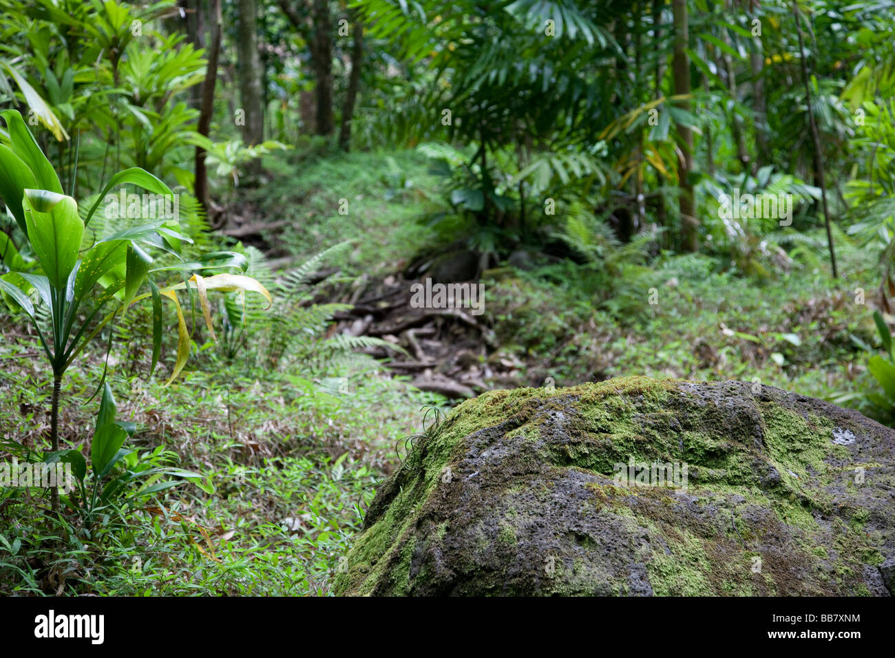 Lush Hawaiian rainforest - Stock Image