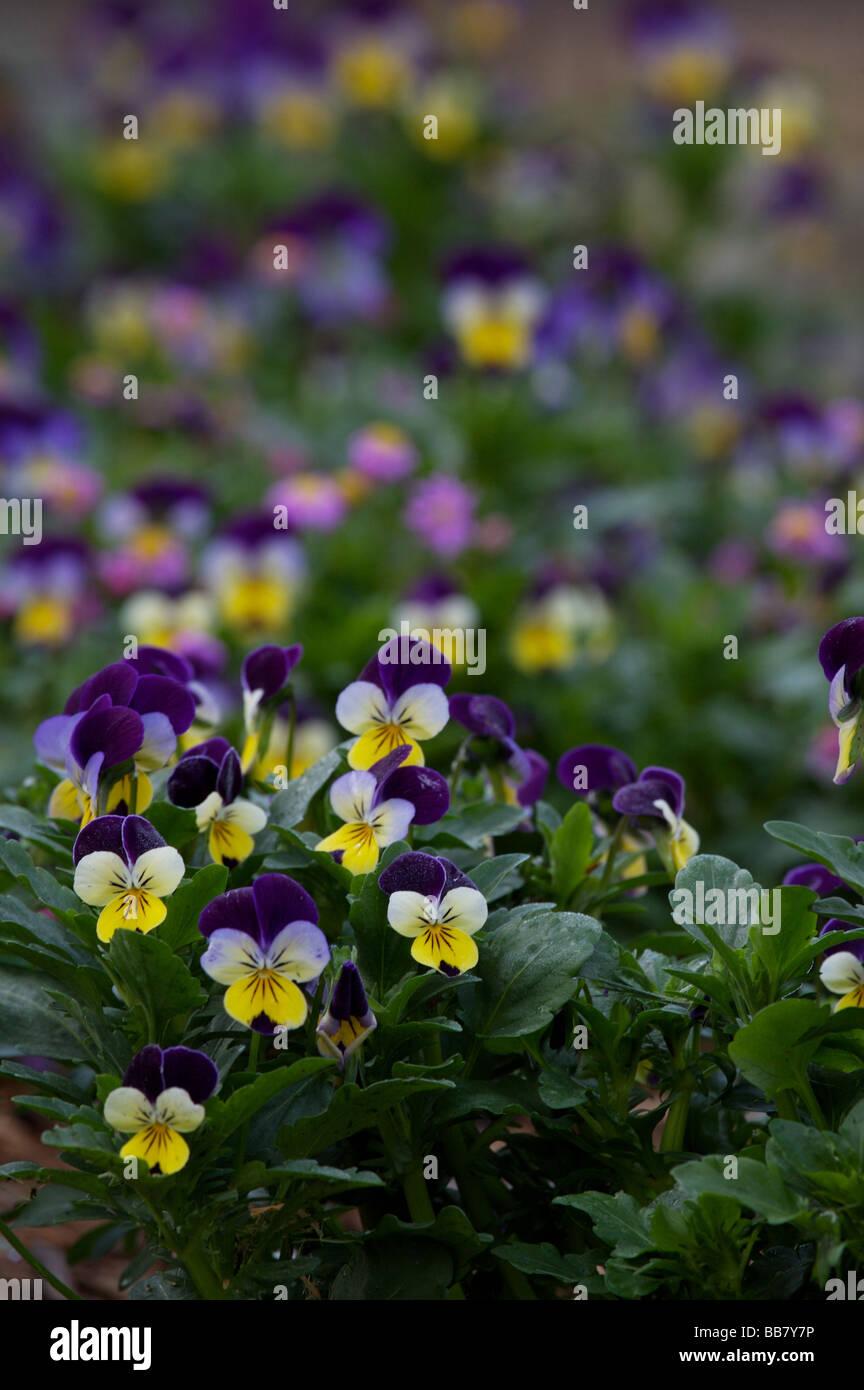 Johnny Jump Ups -  Violas in flower in the garden - Stock Image