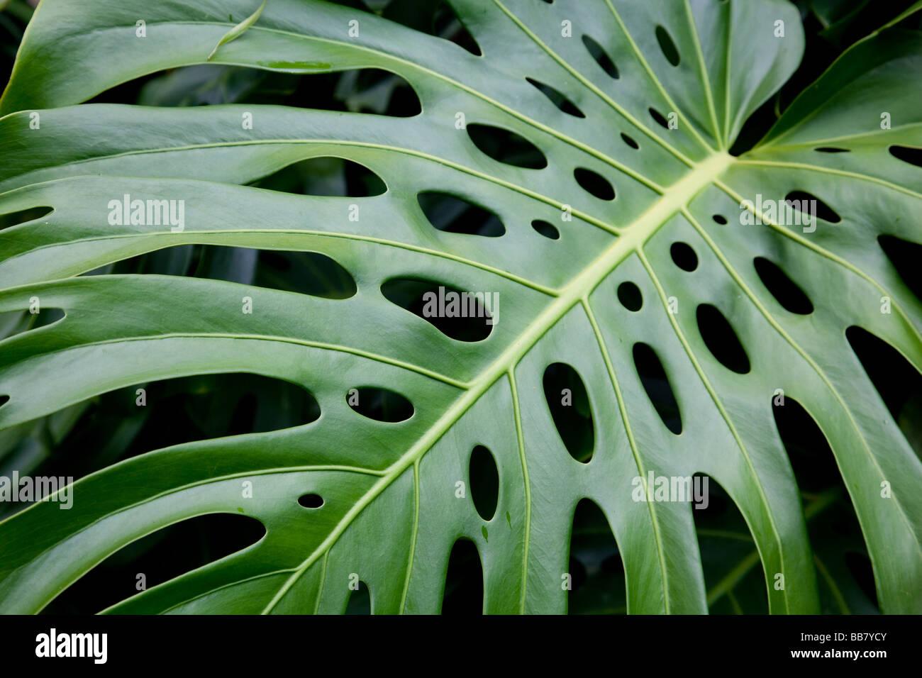 Monstera leaf (Araceae) - Stock Image