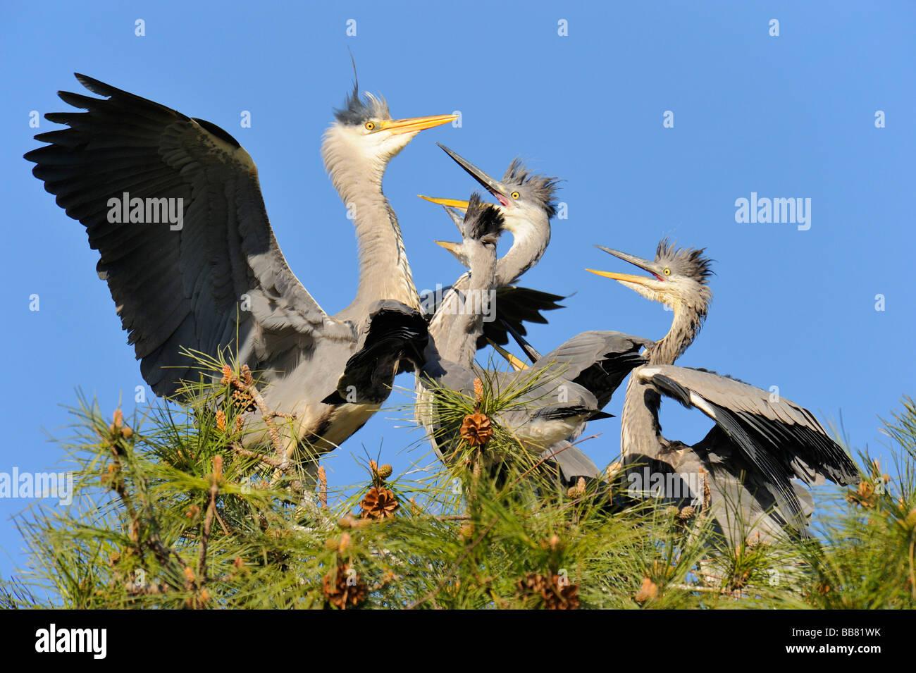 Grey Heron (Ardea cinerea), adult with fledglings - Stock Image