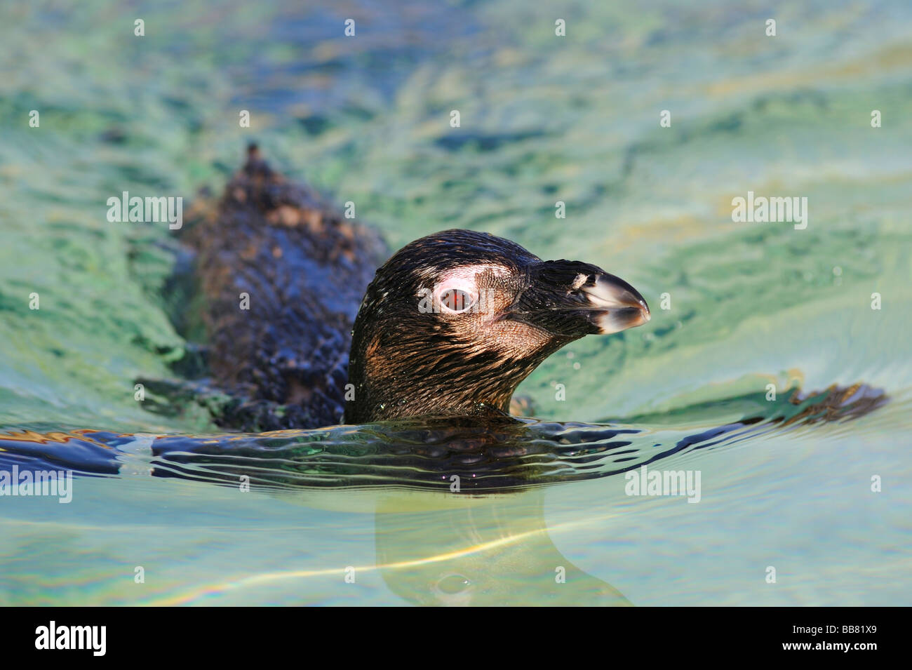 African Penguin (Spheniscus demersus) Stock Photo