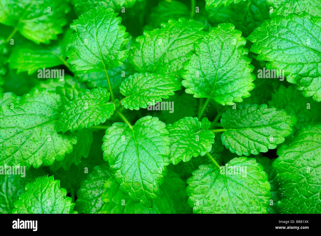 Lemon Balm (Melissa officinalis) - Stock Image
