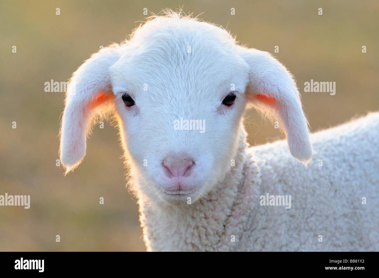 Domestic sheep, merino sheep, lamb, portrait - Stock Image