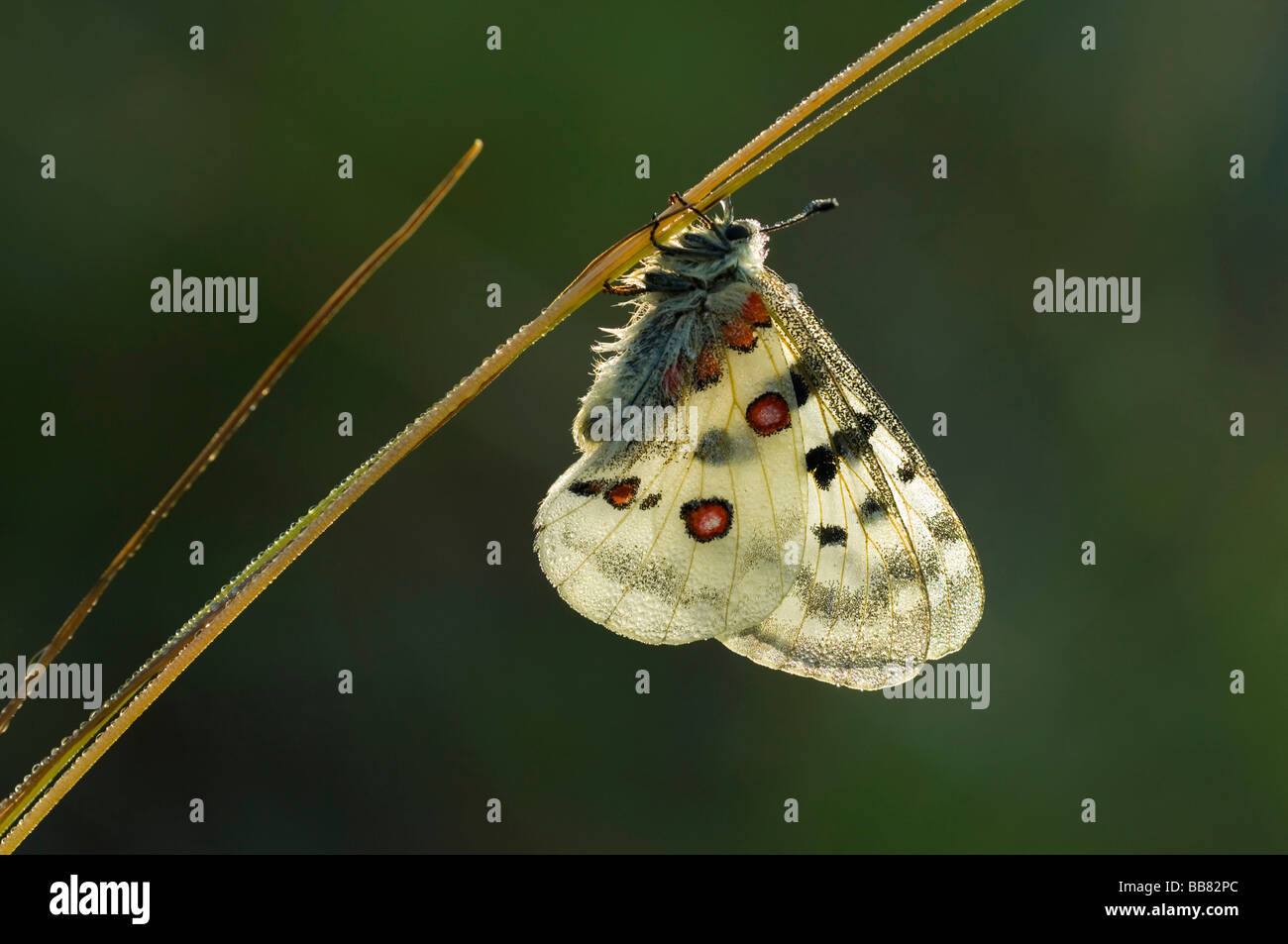 Apollo (Parnassius apollo) resting on a grass stalk covered with dew drops, Swabian Alb, Baden-Wuerttemberg, Germany, Stock Photo