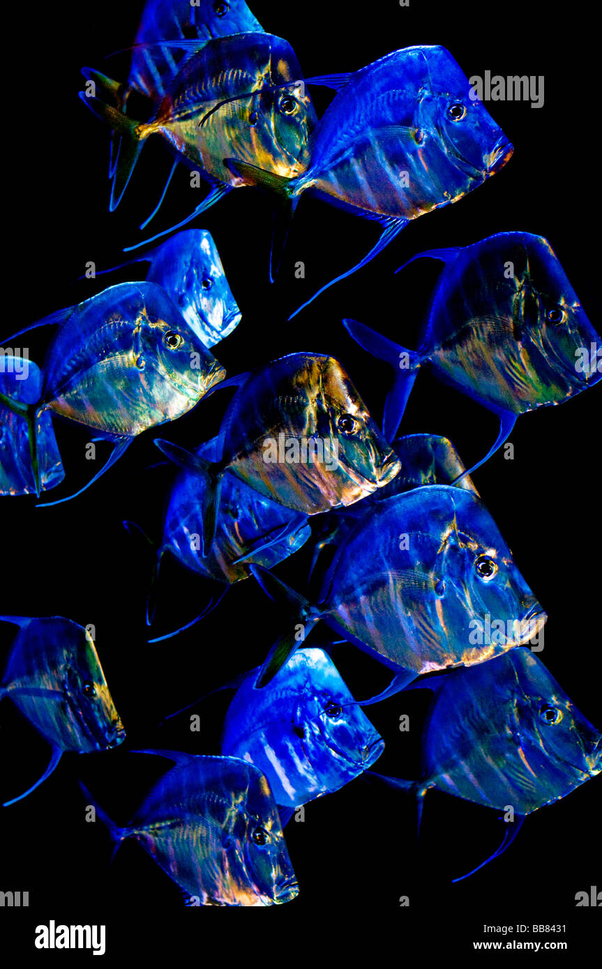 Blue and colourful shimmering fish - Stock Image