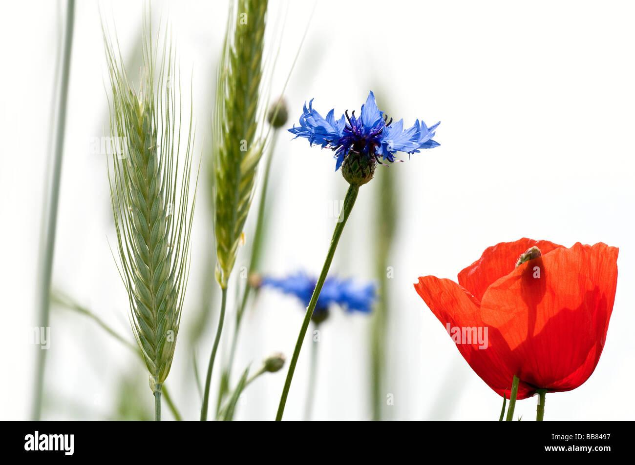 Cornflowers, poppy blossom and wheat - Stock Image