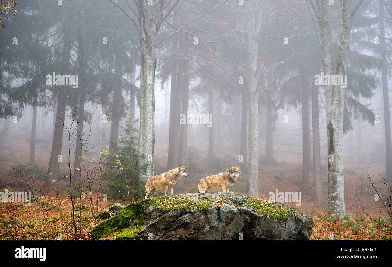 Gray Wolf (Canis lupus), open-air enclosure for animals near Neuschoenau, Bavarian Forest National Park, Lower Bavaria, - Stock Image