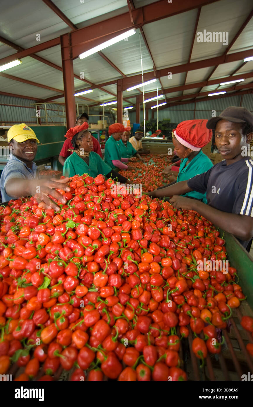 African ethnicity factory workers packing baby bell peppers. Pongola, Kwazulu Natal Province, South Africa - Stock Image