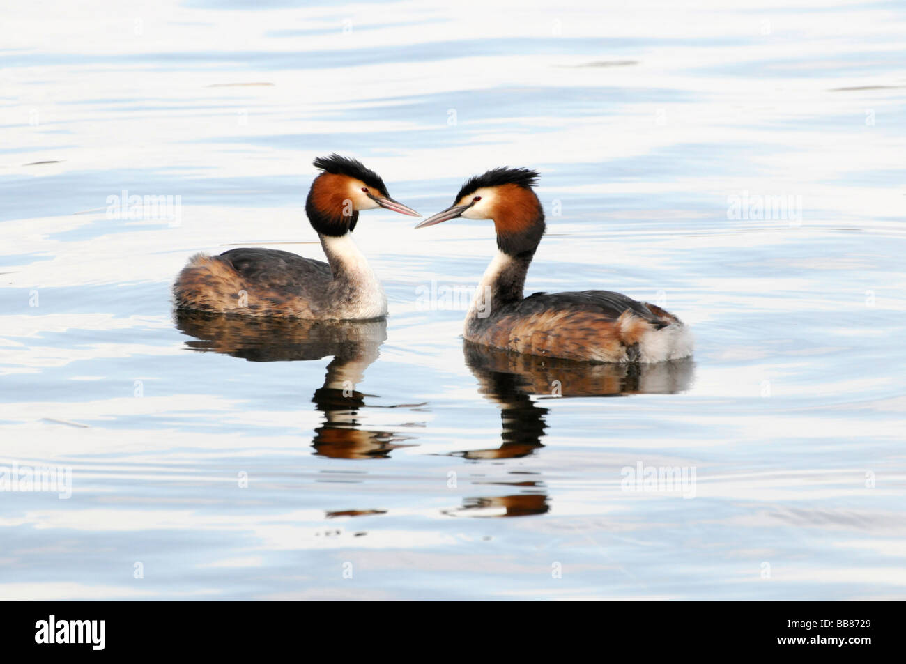 Two Great Crested Grebes (Podiceps cristatus) on the Schweriner See Lake, Schwerin, Mecklenburg-Western Pomerania, Stock Photo