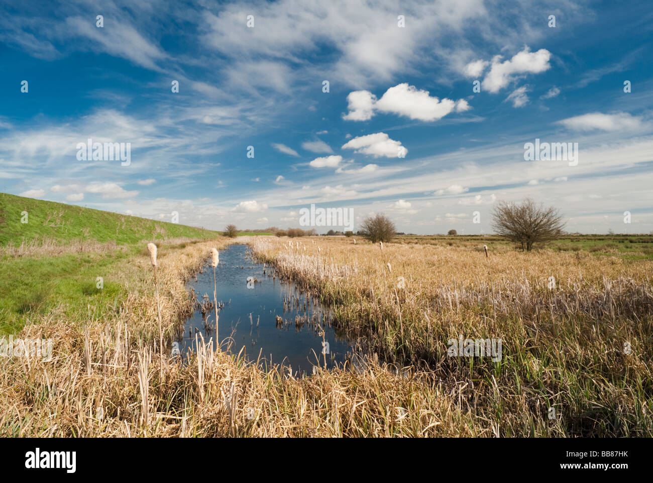 Reedbed in March at Baston Fen Nature Reserve, Lincolnshire, England Stock Photo
