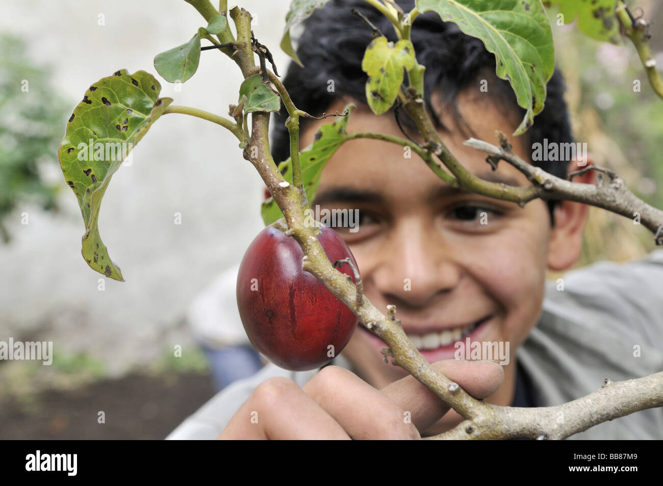Teenager being delighted about a ripe Tamarillo fruit (Solanum betaceum), He is being trained in horticulture as - Stock Image
