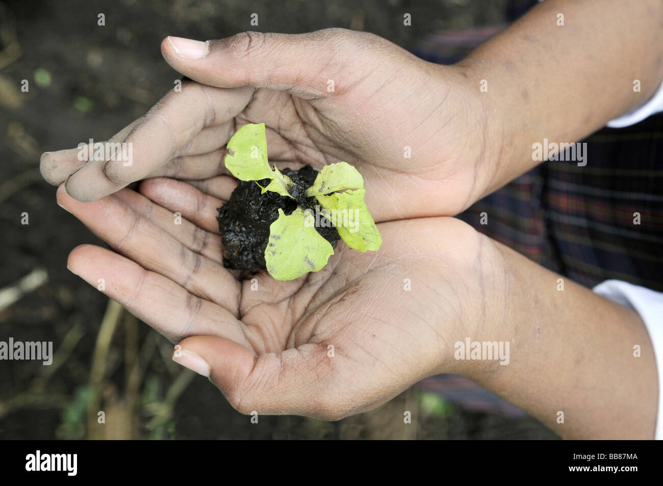 Small lettuce plant, seedling, in the hands of a girl, who is being trained in horticulture as part of an urban - Stock Image