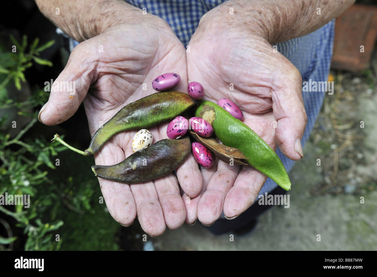 Ripe beans in the hands of an elderly woman, slums of Cerro Norte, Bogotá, Columbia - Stock Image